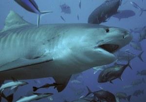SharksOnMaui
